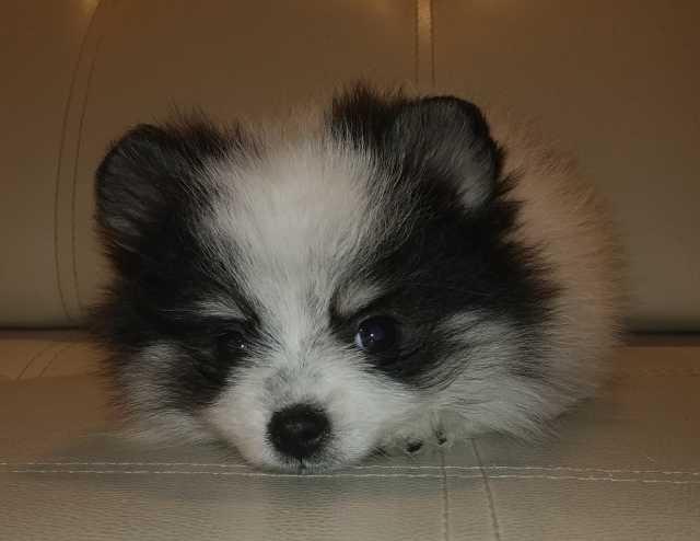 Продам: Шпиц щенок