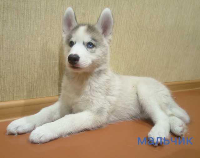 Продам Породистые щенки Сибирских Хаски