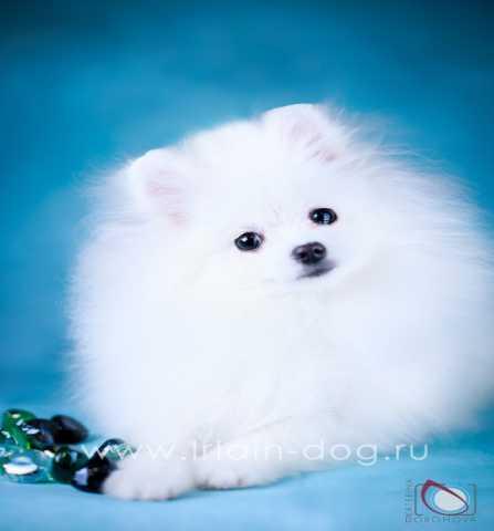 Продам Подрощенный мальчик,щенок померанского ш