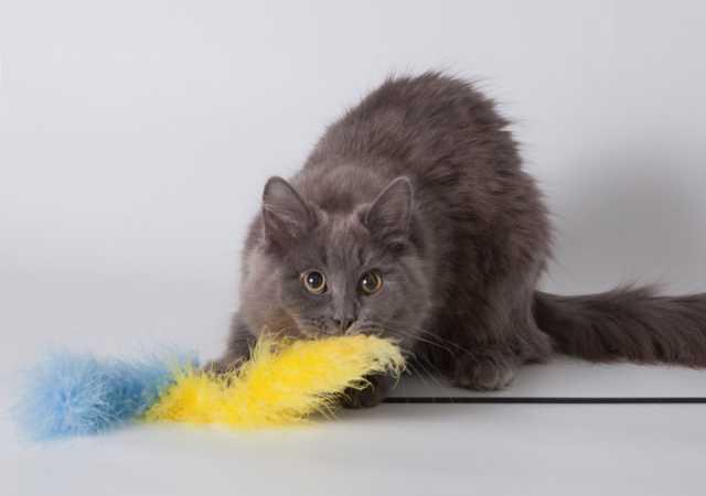 Отдам даром Ласковый пушистый котенок Бильбо, голубо