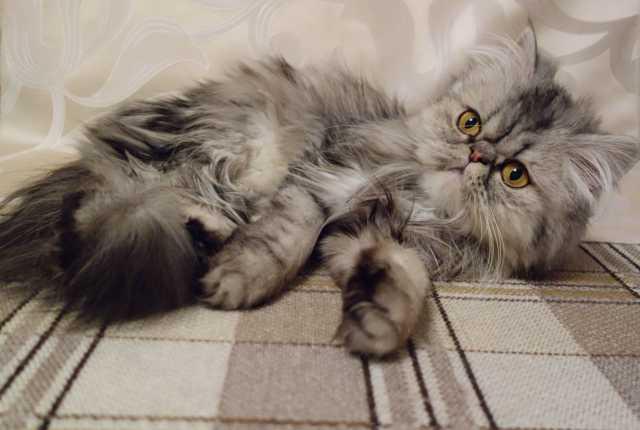 Продам Экстремальная персидская кошка