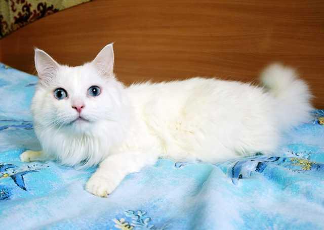 Отдам даром Шикарный голубоглазый кот Салливан, 4г