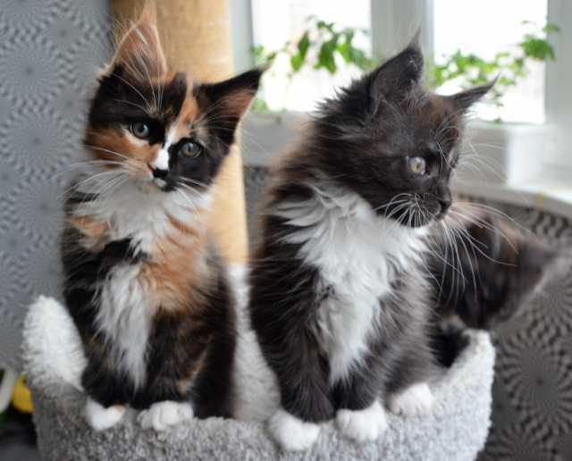 Продам котёнка Мейн-кун (полидакт)