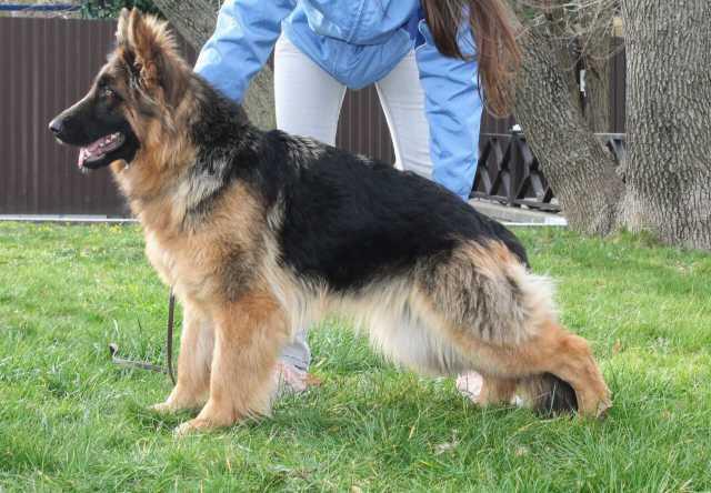 Продам Шикарн подрощен длинношерстный щенок
