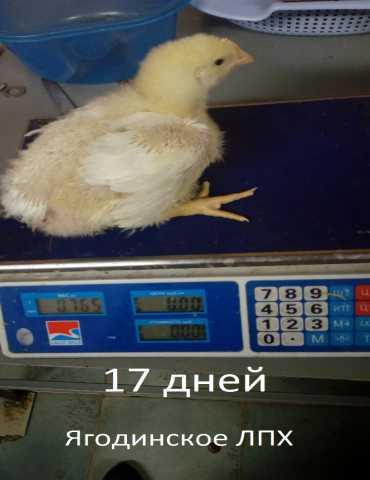 Продам Цыплята бройлерные Кобб 500, Кобб 700 (А