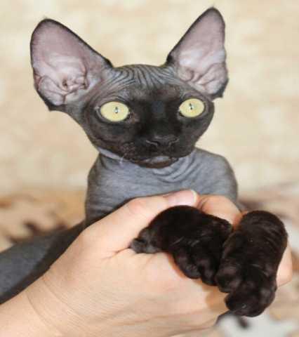 Продам: Девон рексы кошечка и кот