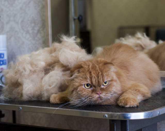 Предложение: Стрижка кошек. Подготовка к выставке