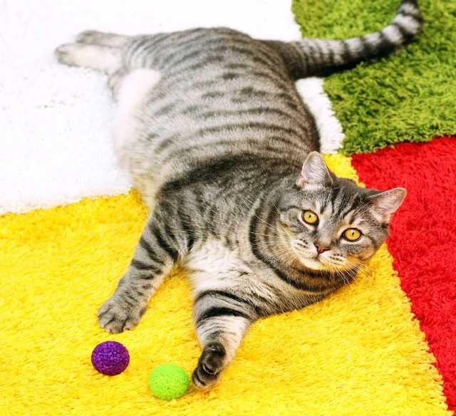Отдам даром Гейзер, огромный мегаласковый котище 2-3