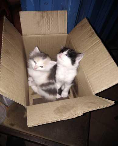 Отдам даром Два котёнка (девочки)