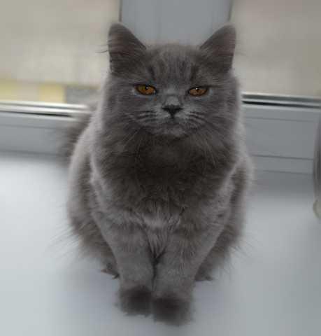 Продам Британский клубный котёнок