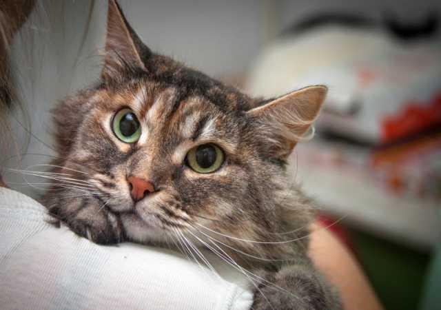 Отдам даром Красивая пушистая и умная кошка Найси