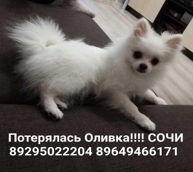 Продам Потерялась собака белый шпиц