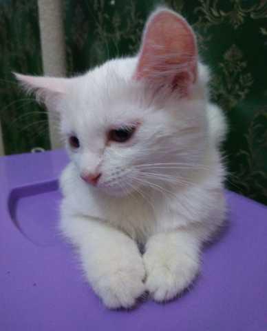 Продам: Котята Као-мани