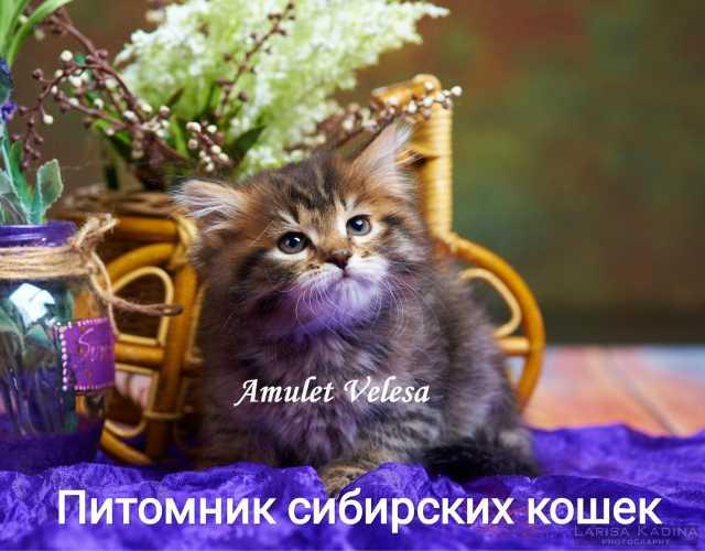 Продам: Сибирские котята из питомника