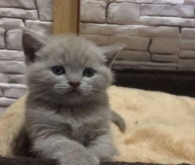 Продам котята британские