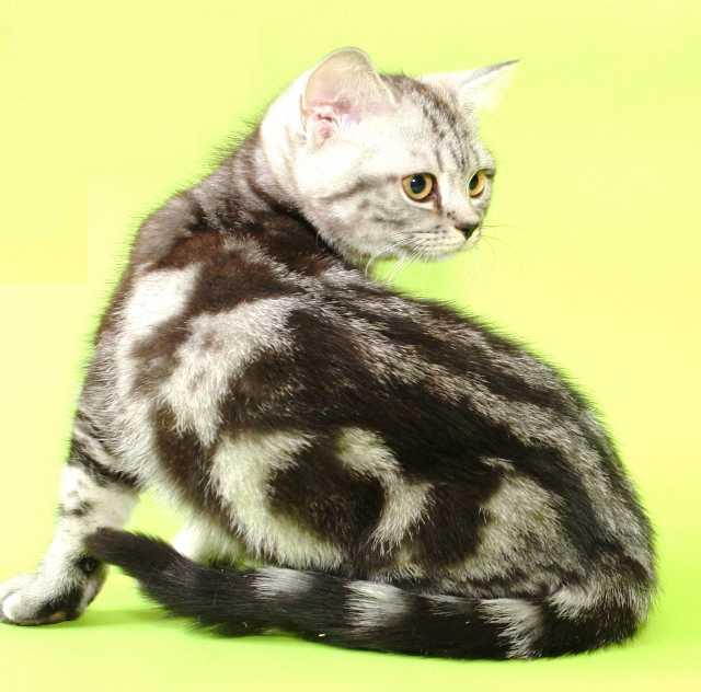 Продам британскую кошечку черный мрамор