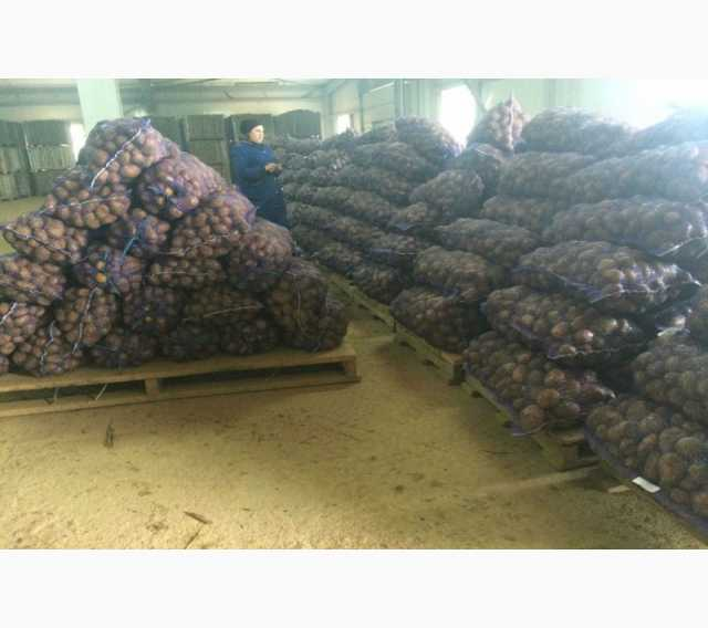 Продам Продам фермерский семенной картофель