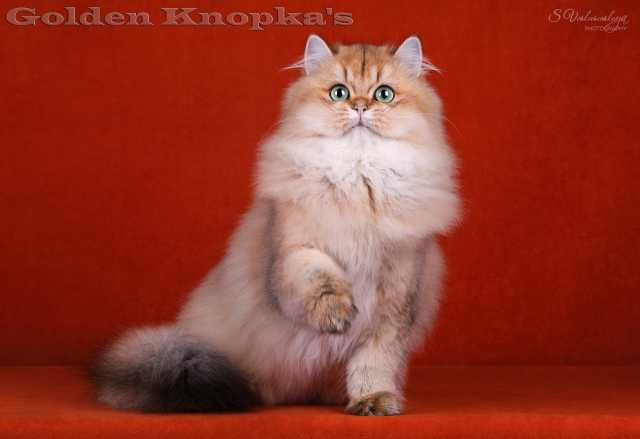Продам Британские длинношерстные золотые котята