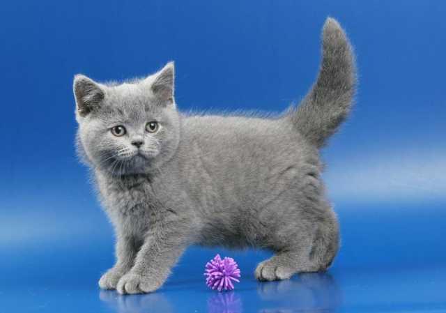 Продам Британские котята голубого окраса