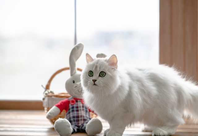 Продам Британский котенок