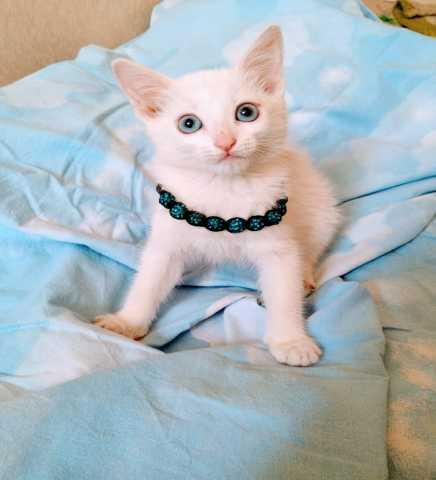 Отдам даром Белоснежный котенок в добрые руки