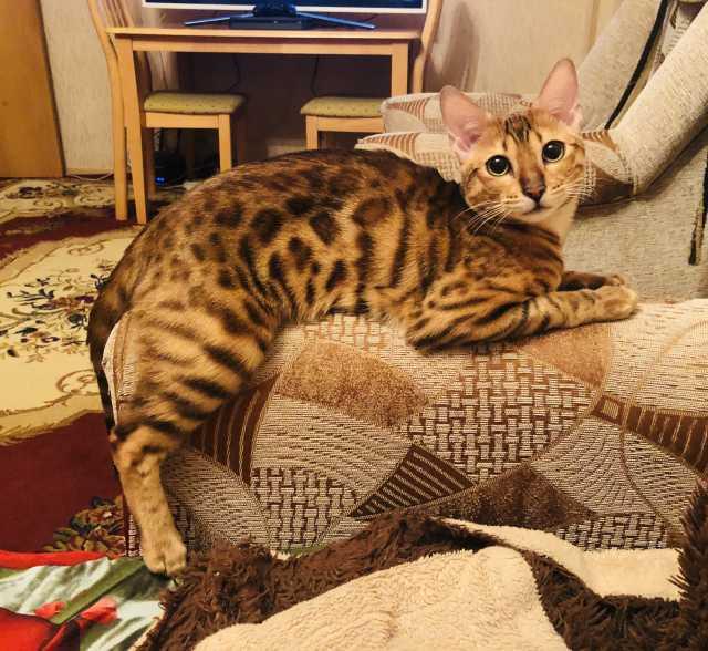 Продам Бенгальская кошка
