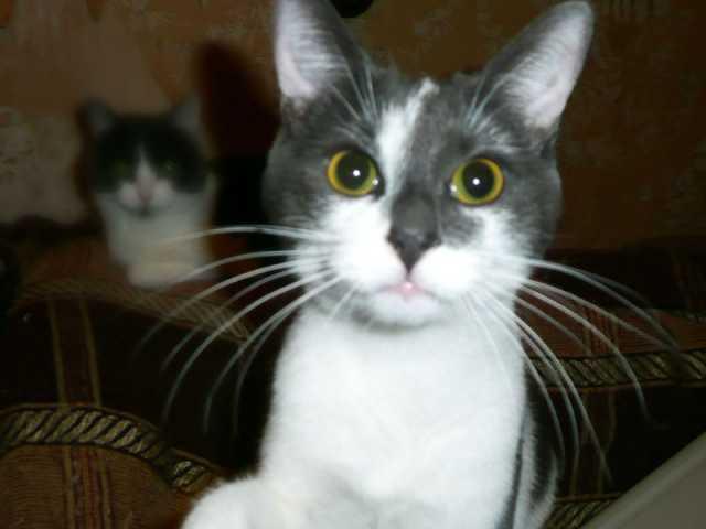 Отдам даром Ищет дом талантливый котик Шустрик