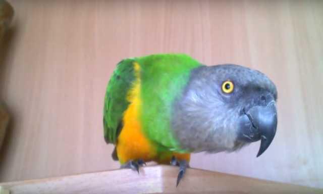 Продам Сенегальский попугай
