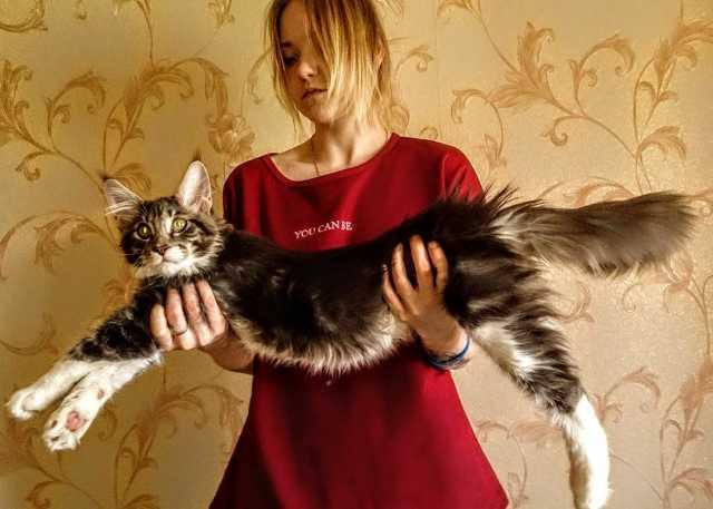 Продам Лучшие котята мейн кун