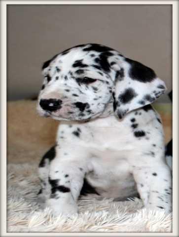 Продам Малютки щенки - Немецкий дог
