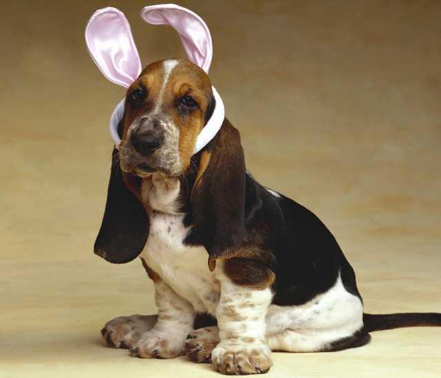 Продам Басситы щенки из питомника