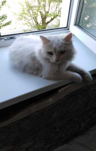 Отдам даром: Шикарный белый кот