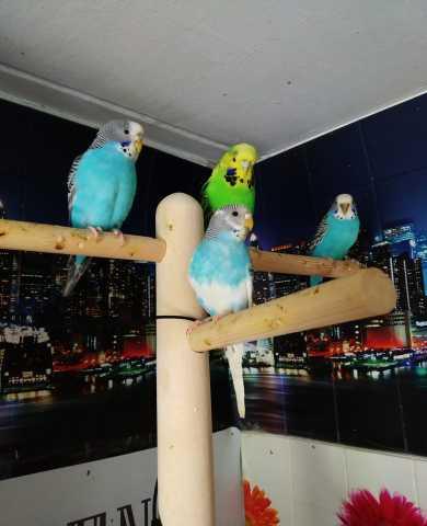 Продам Волнистые попугаи -от Заводчика