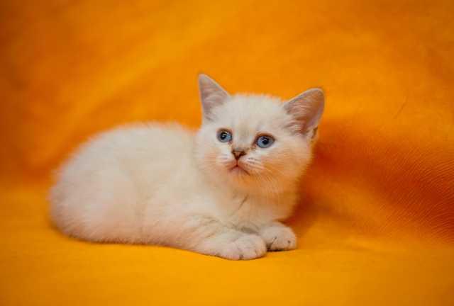 Продам: Кошечка