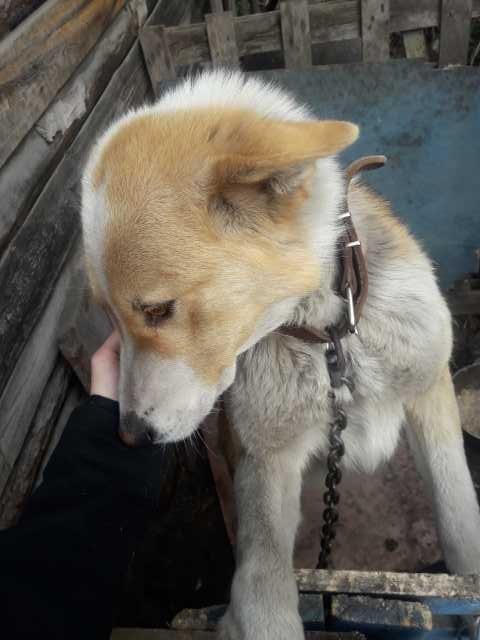 Отдам даром Собака сторожевая 1.5 года в хорошие рук