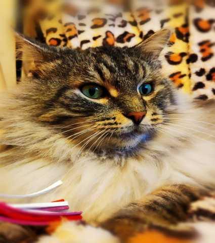 Отдам даром Галантный котик Сильвер в добрые руки