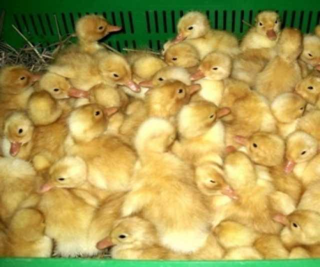 Продам: Продаем суточных цыплят утки и гуся