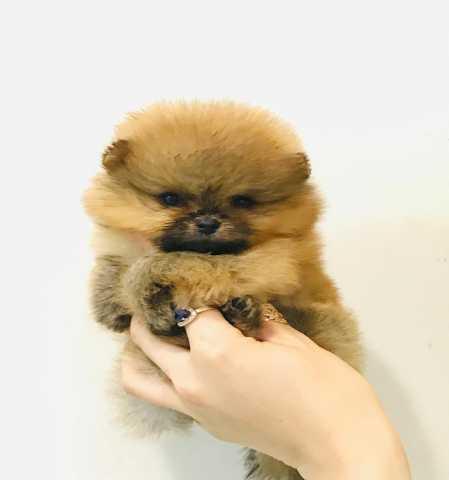 Продам: щенки шпица
