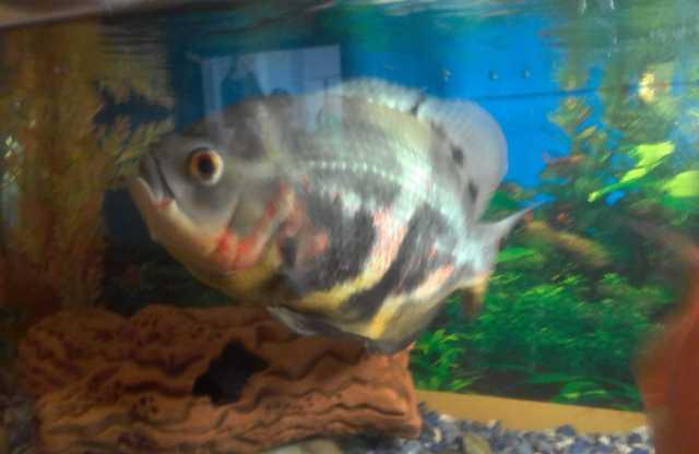 Продам Крупные аквариумные рыбы
