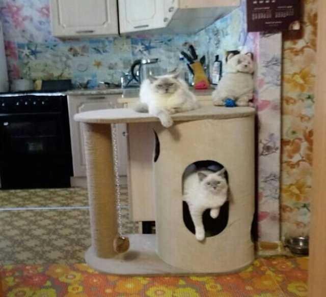 Продам Кошечки породы Рэгдолл (кошка-кукла)