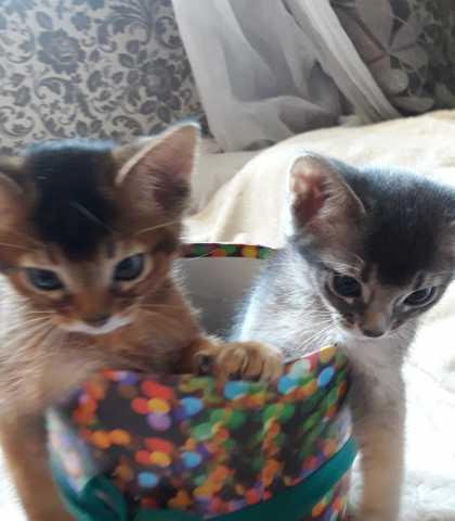 Продам Абиссинские котята мальчики