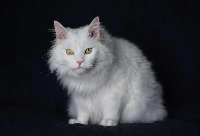 Отдам даром Белый котенька в дар