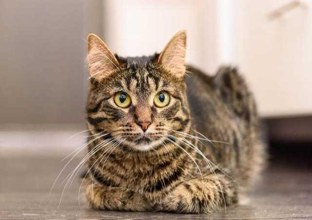 Отдам даром Большая кошка с огромным сердцем ищет до