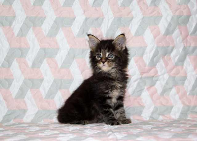 Продам Мейн куны - котята