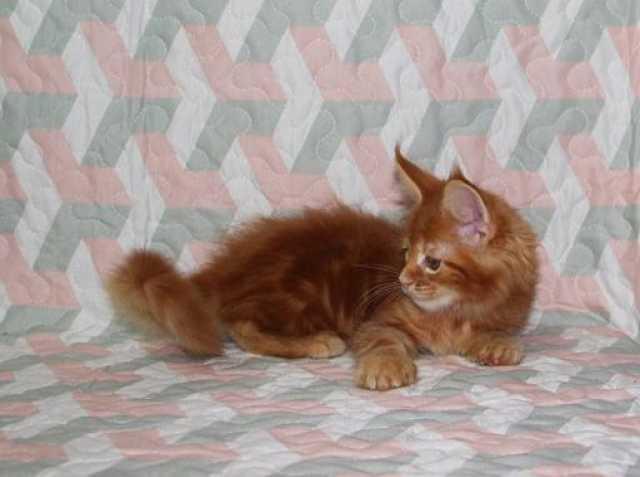 Продам Шикарные котята мейн куны