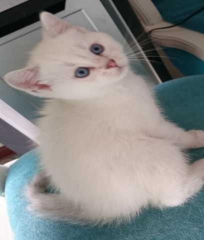 Продам Голубоглазые британские котики