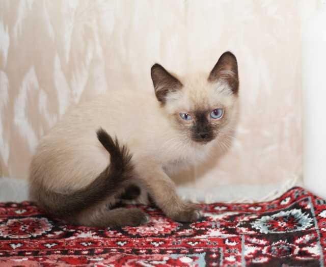 Отдам даром Котёнок Сим- красивый и воспитанный