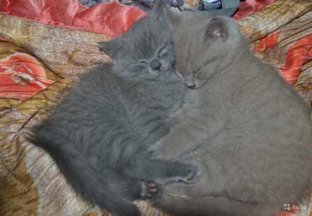 Продам: Котята;2 месяца от роду (мальч,девоч)