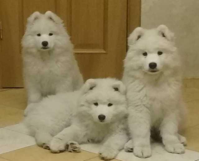 Продам Щенки самоедской собаки