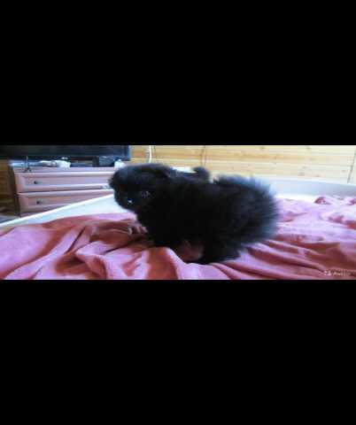 Продам: Миниатюрные щенки шпица